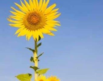 Mammoth Russian 200+ Giant Sunflower Seeds - Bulk Flower Seeds - Canada - 25 Grams