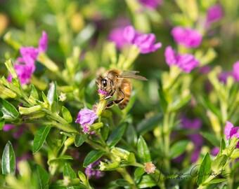 Photograph Print : Honeybee on Purple Flower // Macro Photography / Fine Art
