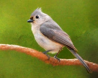 Tufted titmouse on a horizontal branch