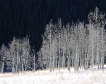 Aspen Grove in Winter, Instant Digital Download Photograph, Nature Photography, Home Decor, Wall Art, Art Photography, printable, Birch Tree