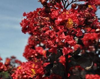 25 + red Crepe myrtle seeds