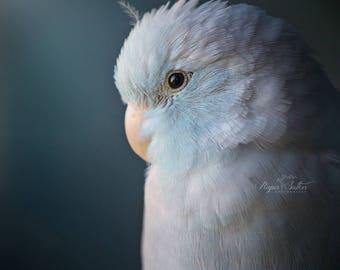 Parrotlet bird photography fine art photography wall art fairytale