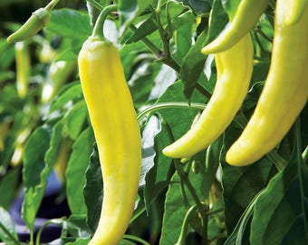 25 Sweet Banana Pepper Seeds