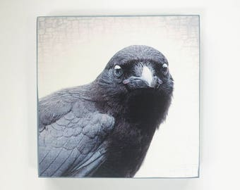 Adorable Baby Face Crow Portrait - Ready to Hang Wooden Plaques -  Fine Art Image Collection on  5-inch Square, Birch Panel