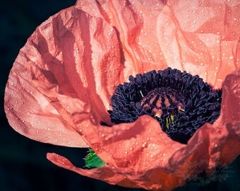 Nature Photography, Botanical Print, Wall Art, Poppy Photograph, Home Decor, Garden Photo, Flower Picture, Summer, Bloom, Peach, Black