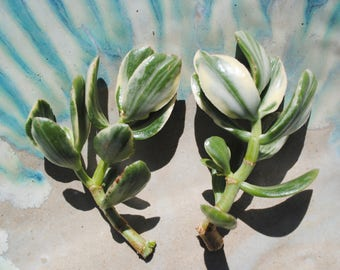 Variegated Jade Cuttings succulent plants set of TWO tricolor jade