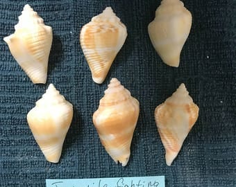 6 Seashells Florida Juvenile Fighting Conch Strombus alatus Sea Shells Florida Beaches