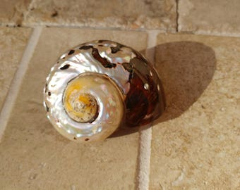 Smarticus - Polished Seashell - Pearlized Black and Orange Turbo - African Smarticus Seashell 222