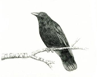 8 x 10 Hand Drawn Sketch of a Crow
