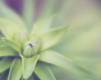 Lily Macro Photo, lily buds, soft focus photography, Wall Art, Home Decor, Office Art, Nursery Decor, Spring Flowers, Green, Soft fade Bokeh
