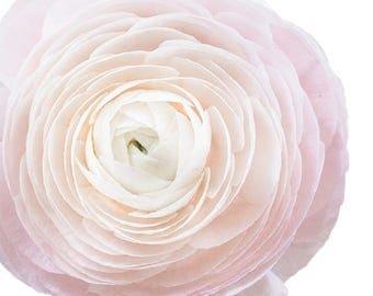 Ranunculus light Pink Garden Flowers  - Vinyl Decal Wall Décor