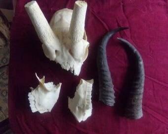 Real animal bone part African White Spring Bock horns part skull deer taxidermy