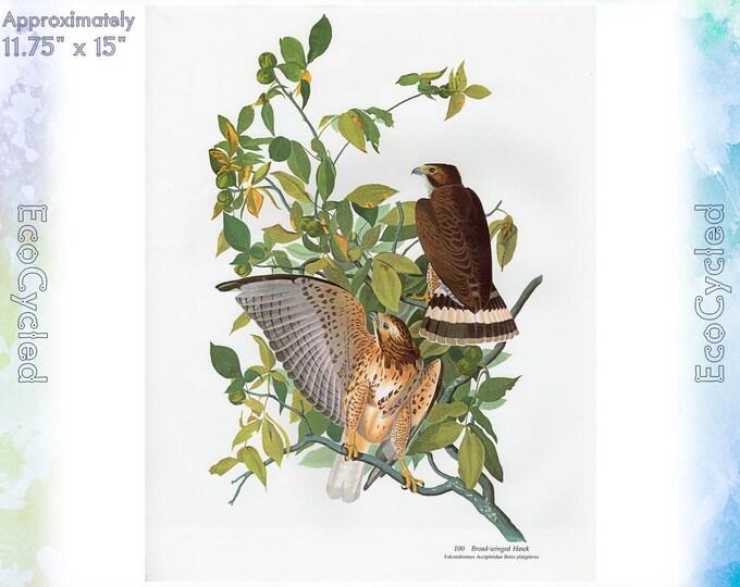 Broad-Winged Hawk Birds of America Vintage Art Print Nature Vintage Paper Ephemera John James Audubon Baby Elephant Folio frameable 57