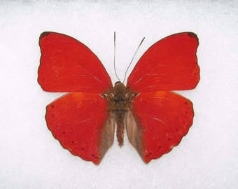 One Real Butterfly Red African Cymothoe Sangaris