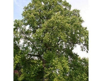10 Yellow Poplar Tree Seeds, Liriodendron tulipifera