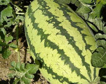 Allsweet Watermelon, 20+ seeds, Reliable heirloom large watermelon