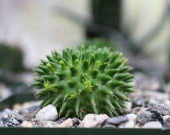 Euphorbia Suzannae Succulent Plant