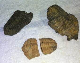 3 Trilobite fossil specimens ancient life forms
