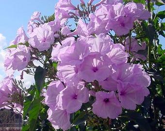 Ipomoea fistulosa carnea Bush Morning Glory Quart Plant