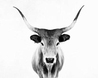 Cow print, cow art, black and white cow photography, horns print, farm animal, fine art animal print, contemporary home decor, wall decor