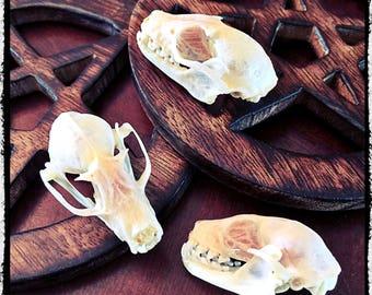 Small Bat Skull - Rousettus Leschenalti