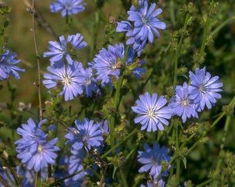 Chicory Seeds, Wildflower seeds, Cichorium Intybus Seeds, Wild Herb Seeds, Chicory Root