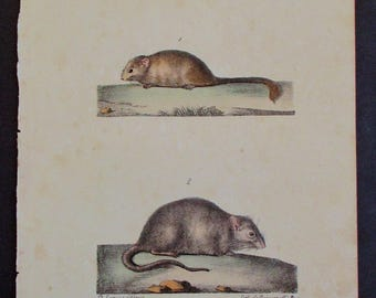 1833 Muscardin and Surmulet, Rodents. Buffon Antique Handcolored Lithograph. Original. Natural History