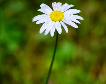 Flower Photo, Picture of Daisy, Picture of Flowers, Flower Photography, Daisy Art, Daisy Photo, Home Decor, Nature Photography, Wall Art