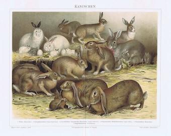old print rabbits rabbit cony 1895