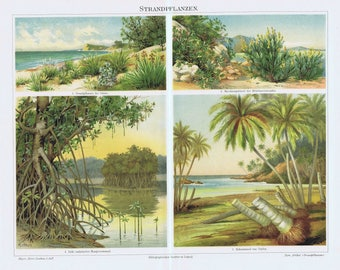 antique print plants of the beach coconut tree 1895