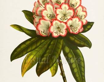 Rhododendron Flower Art Print, Botanical Art Print, Flower Wall Art, Flower Print, Floral Print, Home Decor, Rhododendron, white, pink