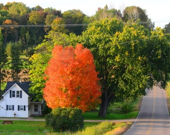 COLORFUL FALL TREE In Front Of A Farm On A Wisconsin Country Road.
