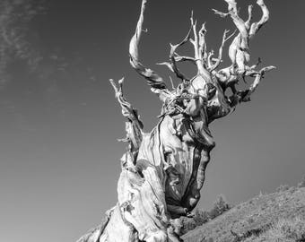 Bristlecone Pine MATTED or PRINTS ONLY Ancient Tree Photograph Print Original Signed Mat Matted