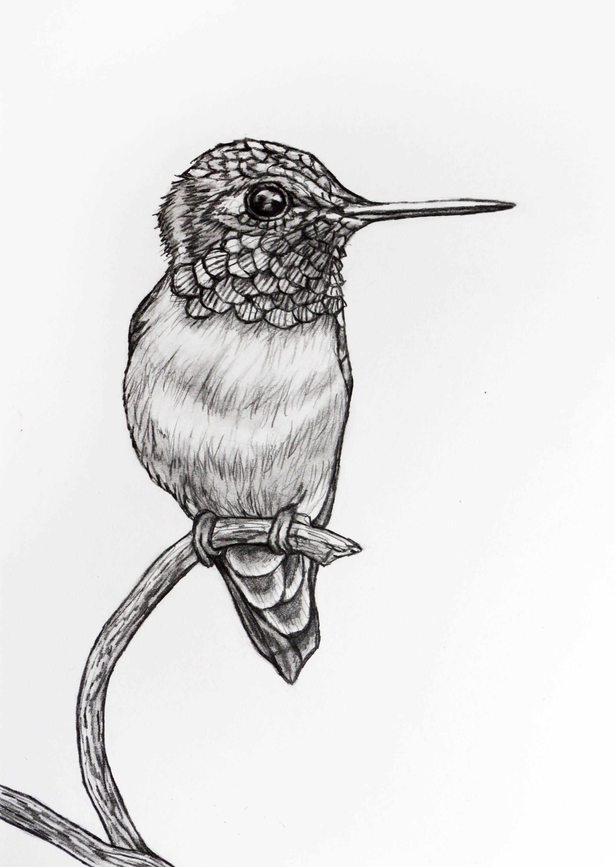 Humming Bird Pencil Drawing 73 humming bird