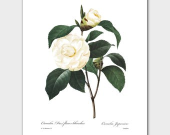 Camellia Print (White Wall Art, Botanical Flower Decor) -- Pierre Redoute