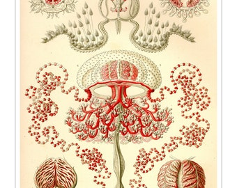 Red Medusa Jellyfish Print, Poster, Jellyfish Art, Ernst Haeckel Jellyfish, Educational Art, Science Print, Coastal Decor, Coastal Wall Art