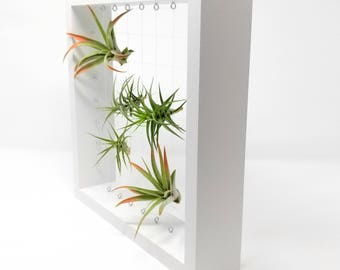 White Air Plant Frame, White Air Plant Holder, Air Plants With Holder, White Plant Display, Wood Air Plant Frame, Air Plant Display