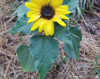 Dwarf SUNFLOWER 1-2ft Live Plant Well Rooted Quality Annual Herb