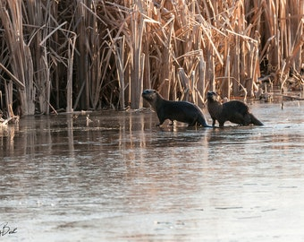 Two Otters on Ice