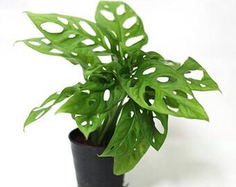 Monstera obliqua var. expilata aka Swiss cheese plants by Joinflower Joinfolia