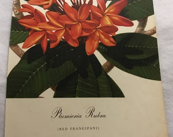 Plumeria Rubra (Red Frangipani) Bernard & Harriet Pertchik 1951 Print from Flowering Trees of the Caribbean Alcoa Steamship