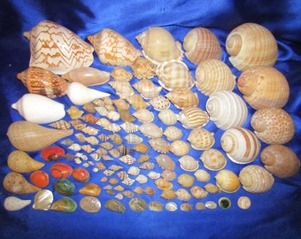 Collection of Tonne and Voluta Shells + others from an Old Collection