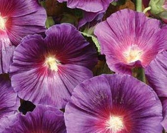 2 Lavender Hollyhock Plants - Halo Series