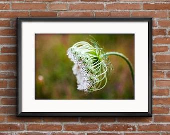 Queen Anne's Lace Fine Art Photograph 8x10, 11x14, 16x20 Nature Photography Flower Wall Art Wildflower Home Decor