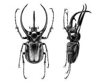 Chalcosoma caucasus - Limited edition Art print