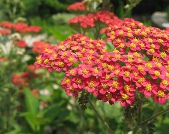 Paprika Yarrow Live Plant