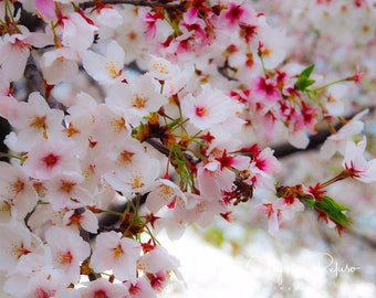 Cherry Blossoms in Washington D.C. Pink and White flowers everywhere