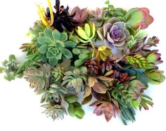 75 succulent cuttings succulent clippings mixed succulent cuttings succulent plant cuttings succulent kit