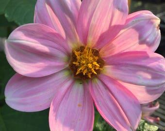 Pink Series VIII