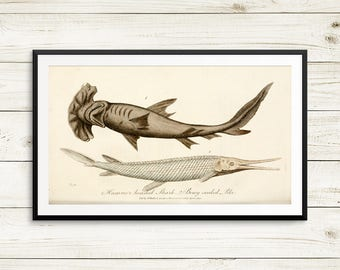 Hammerhead shark, bony scaled pike, shark posters, shark art prints, vintage fish illustrations, fish art prints, old book illustrations